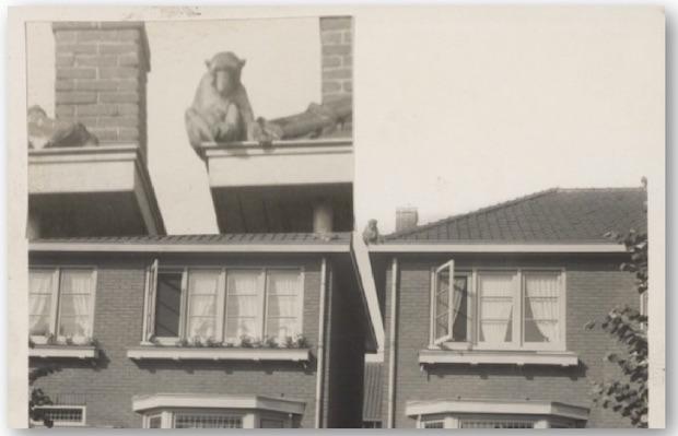 Oud nieuws: Een aap op het dak!